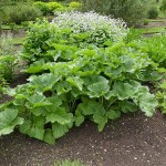 Crambe cordifolia is one of the 80 in my book Around the World in 80 plants