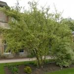 Cornus mas variegata
