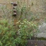 Fuchsia excorticata, tree fuchsia of New Zealand and an important pre-European fruit tree for the Maori