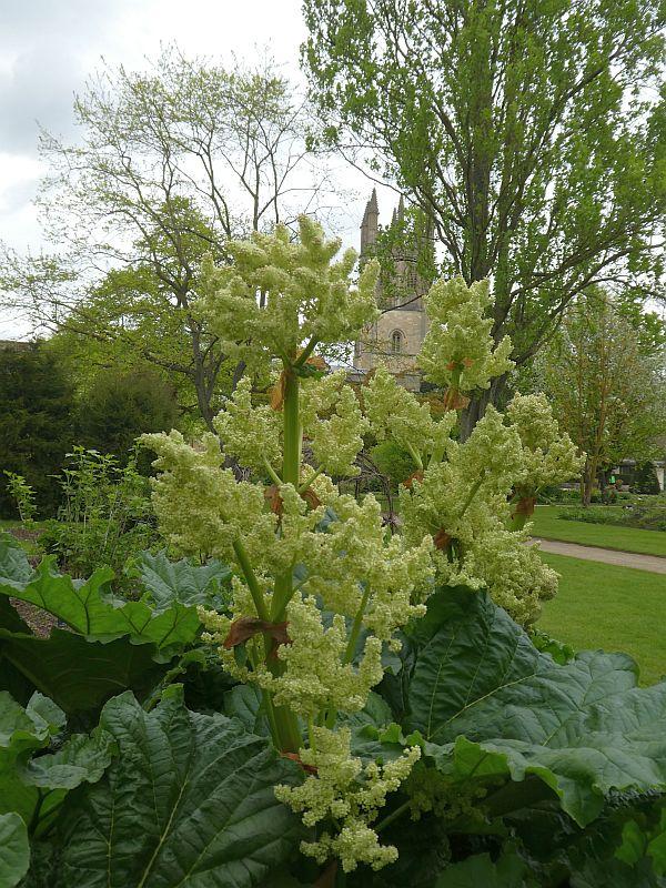 """Rheum """"Cawood Castle"""", a culinary rhubarb"""