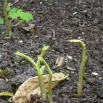 Shoots of Japanese ginger (Zingiber mioga)
