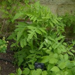 Edible Japanese thistle, Cirsium nipponicum