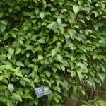Kadsura japonica is a rare climber with edible fruit