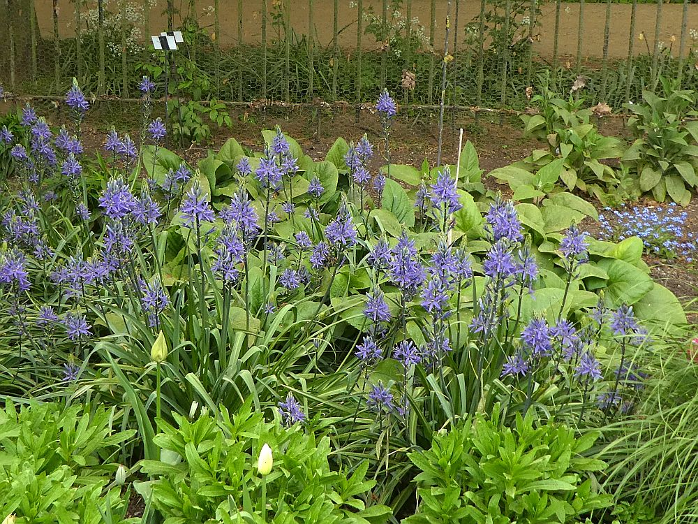 Camassias, important food plants for Native Americans