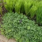 Indian salad (Hydrophyllum virginianum) with ostrich fern