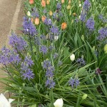 Camassia and tulips