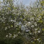 Poncirus trifoliata, trifoliate orange