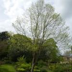 Hovenia dulcis, oriental raisin tree