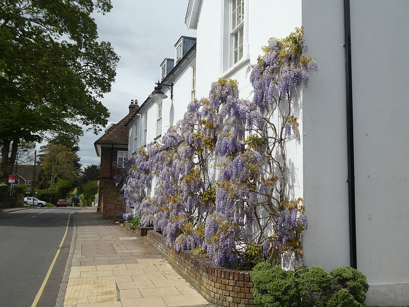 On the road where William Curtis the botanist lived, a Wisteria in full flower...had to resist having a taste of the flowers ;)