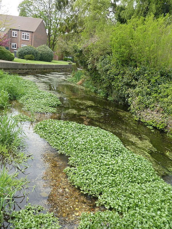The chalk River Wey with wild watercress