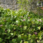 Bergenia cordifolia has escaped from gardens in many places, completely dominating the shallow dry soils...this is a black listed invasive species in Norway...