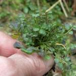 Cardamine flexuosa, edible leaves