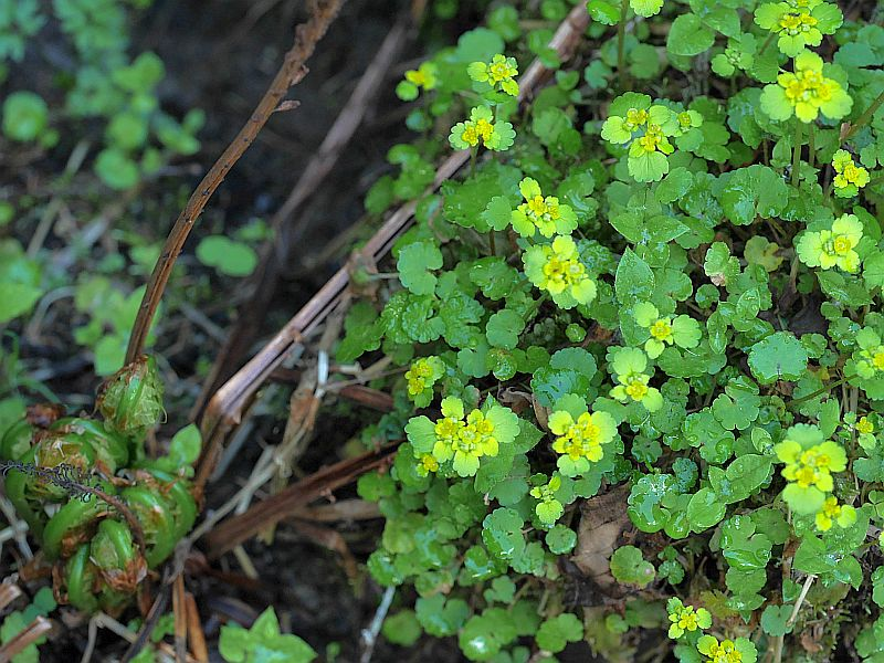 Chrysosplenium alternifolium (Alternate-leaved Golden-saxifrage) is a bitter but has been used in mixed soups and salads
