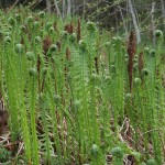 Fertile and summer fronds are the same height only for a few days each year!