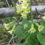 Primula elatior (oxlip), a garden escape in one place