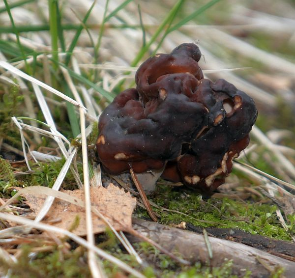 Gyromitra esculenta (false more)...not recommended as food and must be properly prepared