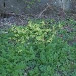 Golden ground elder  (Aegopodium) :)