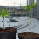 Young plants with an unusual view (for them)