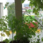 Scene from my office with Moringa, chili and Japanese Hops