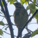 A song thrush (måltrost) was alarming as we passed near his nest sire, a shy forest bird here!