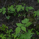 Large leaved raspberry in deep shade