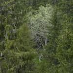 Salix caprea (goat willow / selje) in spruce (gran) forest