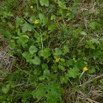 Lesser celandine / vårkål on the farn