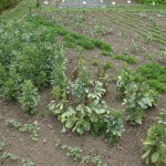 Broad beans are difficult to grow due to a number of pests and diseases