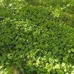 Masses of Campanula rapunculoides in alder wood on the edge of Hommelvik