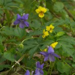 Violets are blue....not only..here yellow-flowered Viola biflora