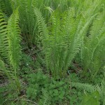 Ostrich fern with an understory of nettles