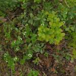 The first flowers of Cornus suecica