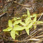Insectivorous Butterbur / Tettegras (Pinguicula), traditionally used to curdle milk