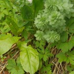Roseroot / rosenrot (Rhodiola rosea) with Rumex acetosa (sorrel / engsyre)