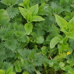 Nettle and stellaria on the farm