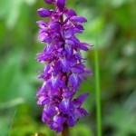 Vårmarihand (Orchis mascula) is protected in Norway....definitely not to be used to make Sarep as is done in Turkey: https://en.wikipedia.org/wiki/Salep
