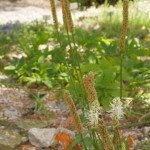 Phyteuma spicatum, spiked rampion  or rapunsel is an old vegetable