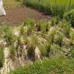 Perennial rye (from, I think, Tim Peters)