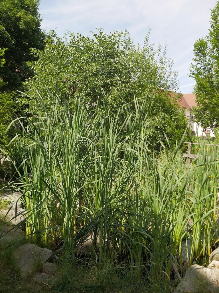Typha (cattails / dunkjevle) in the courtyard pond! Supermarket of the swamps!