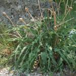 Scorzonera austriaca in the wild garden