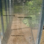 On the window  of the greenhouse installation there is a list of plants credited to Host (bold), there are many others (non-bold) that turned out to be synonyms!
