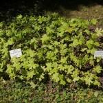 Water leaf or Indian salad (Hydrophyllum)