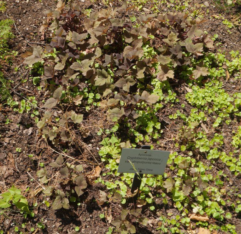 "Cryptotaenia japonica ""Atropurpurea"""