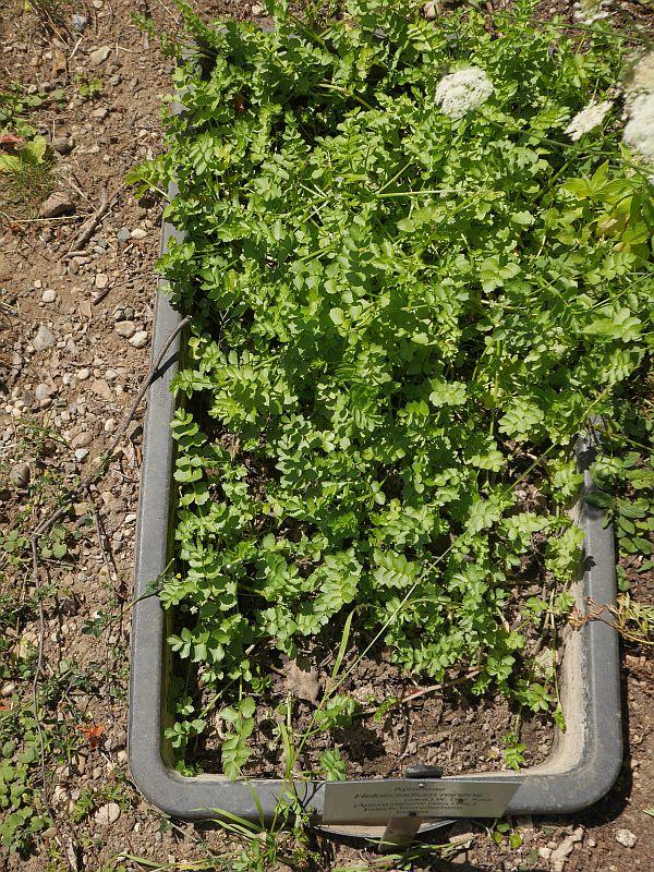 Apium (Helioscadium) repens is presumably edible (sometimes classified as a subspecies of Apium nodiflorum)