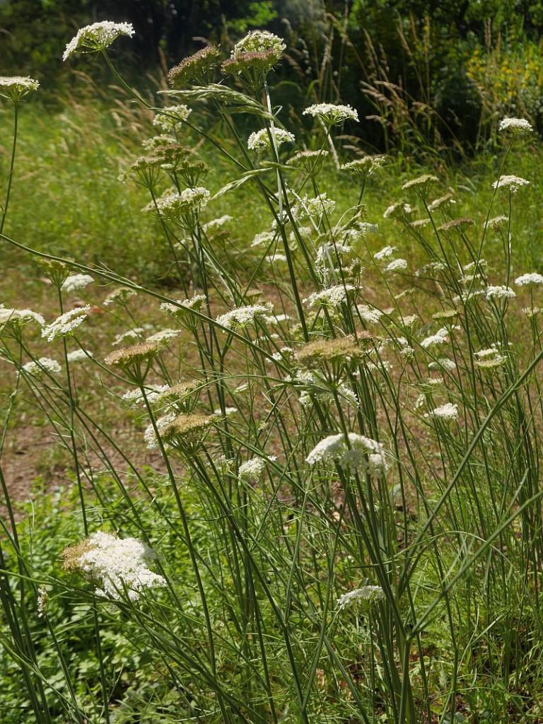 Bunium bulbocastaneum
