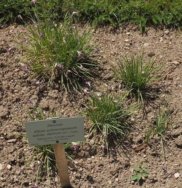 Not this either, looks like the great Allium imposter Allium cyathophorum var farreri