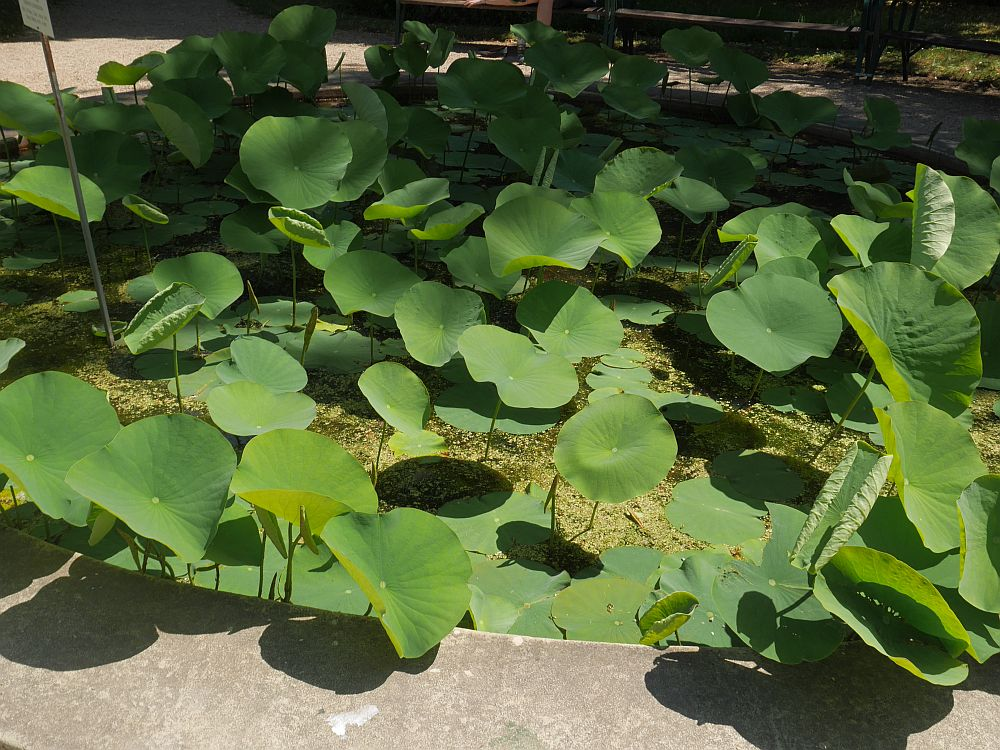 Sacred lotus (Nelumbo nucifera), a plant with a multitude of uses...many food uses, medicinal and the leaves have also been used as plates!