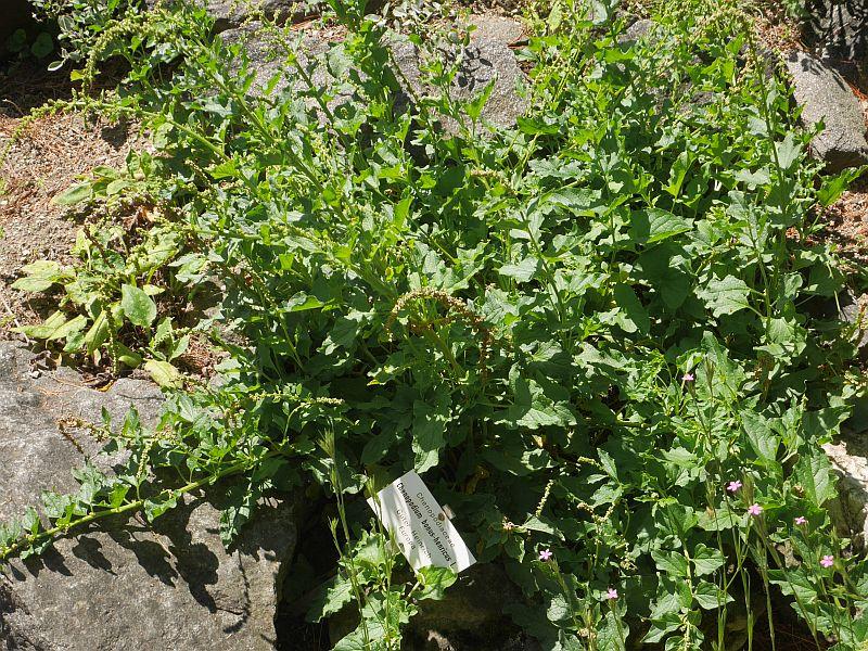 Chenopodium bonus-henricus, Albania's most popular wild foraged edible!