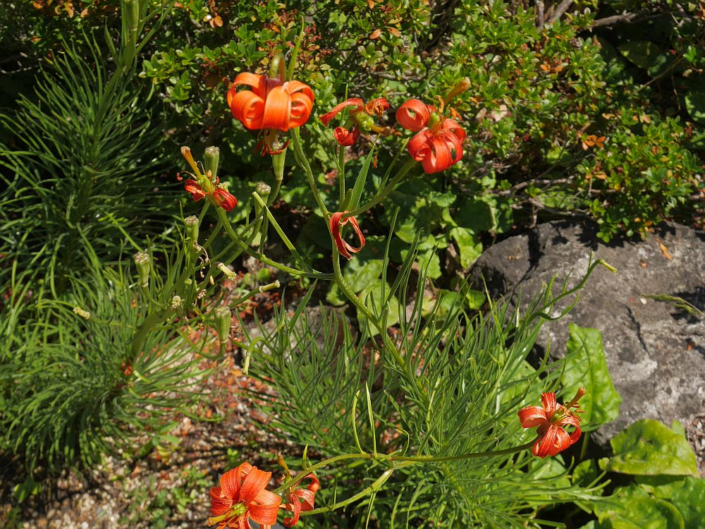 Lilium pomponium, a lily from southern France and north Italy  - the bulbs have been used for food!
