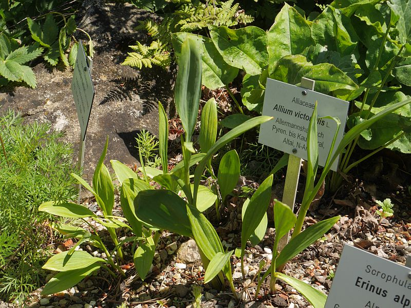 Allium victorialis grows in the Alps